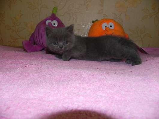 британские и шотландские котята в Москве Фото 2
