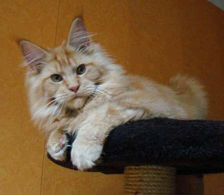 Мейн куны! Котята породы Мейн кун! Мэйн кун нежный гигант в