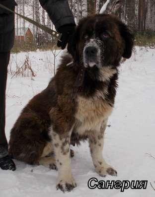 Собаки-гиганты, охранники для дома или предприятия в Екатеринбурге Фото 4