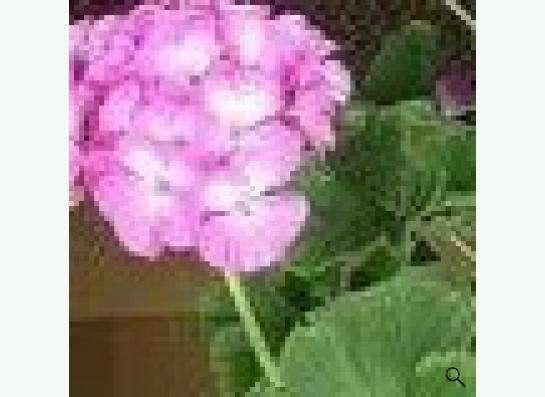цветы комнатные:алоэ, каланхоэ, пеларгония итд