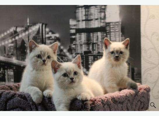 Британские колорные котята
