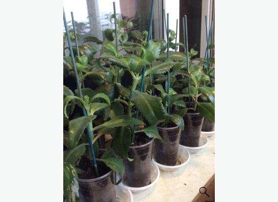 Каланхоэ Дегремона - лечебное растение